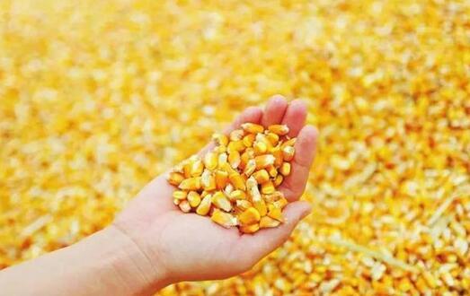 更小的玉米颗粒意味着猪可获得更多的能量,且降低了生产成本