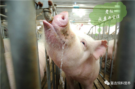夏季,跟母猪热应激说再见!