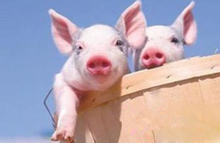 高温酷热猪也怕,管理稍有不慎就真的亏大发了!
