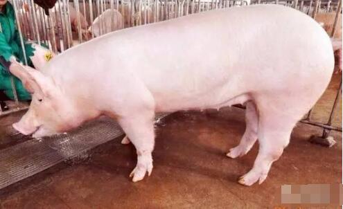 怎样才知道母猪是否已受孕?小妙招知晓母猪是否怀孕