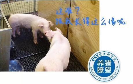 给猪装个镜子,可以减少环境对猪的应激?