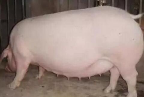 妊娠母猪管理技巧