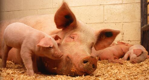 为何6月能繁母猪和生猪存栏量双降,猪价却依旧低迷?