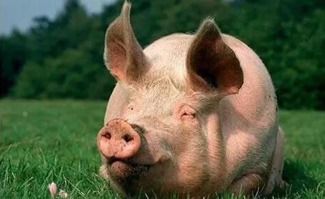 猪价趋稳!今年还有一口气吃成胖子的机会吗?