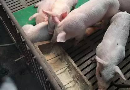 """""""贪""""和""""犟""""这两个字,竟然能让养猪人吃大亏!"""