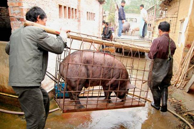 卖猪要谨防这些小动作,不然一头猪亏100没得商量!