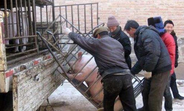 賣豬要謹防這些小動作,不然一頭豬虧100沒得商量!