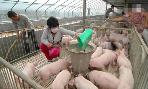 环保政策席卷养猪业,散养户们的路到底在何方?