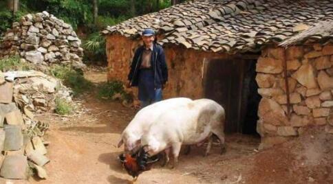 聚焦:如何看待2017叫停农村家庭养猪的新动态?