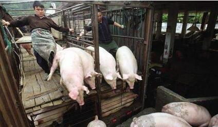专家:下半年猪价回升空间有限,除非排除这三点!