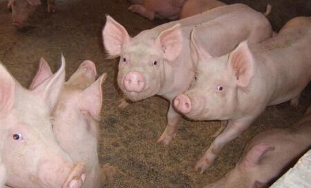 """""""猪周期""""下行刚起步 猪企利润将持续走低"""