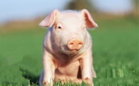 养猪能手为啥不崇尚外二元母猪?