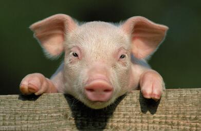 2017年7月24日(20至30公斤)仔猪价格行情走势