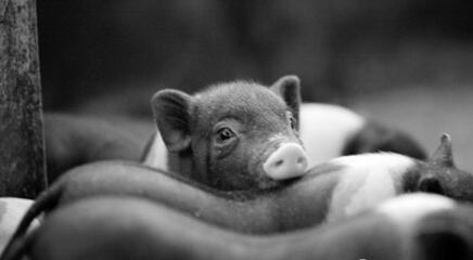大势:未来3年,东北将引领全国养猪业的转型升级
