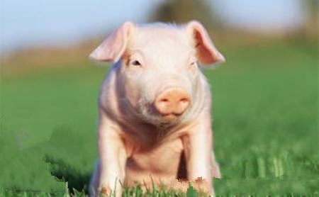 如何平稳养猪业中'大小年',在养猪路上越走越远