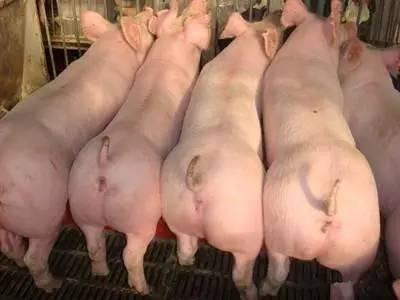 """猪场批次化生产模式的选择要慎重,不能盲目""""复制""""!"""