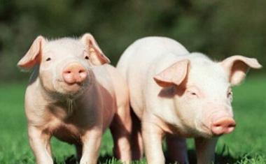 夏季高温对猪肉和养殖业的影响都有哪些,你知道吗