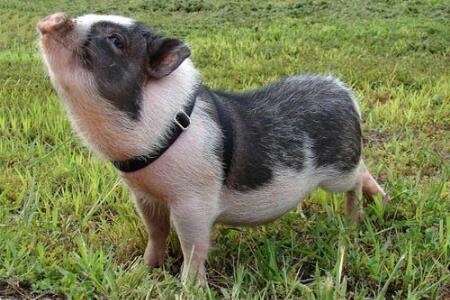 环保成为养殖业的一道门槛,那环保猪怎么养呢?