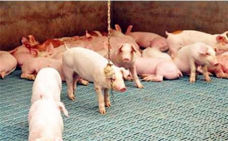 """母猪从怀孕到生产,这几个""""三天""""很关键!"""