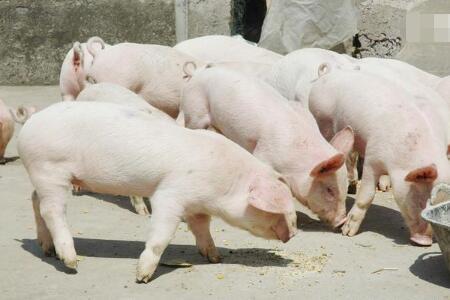 长见识,评价母猪生产性能都是用PSY?可是有人偏偏用这个指标!