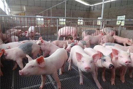 国外夏季怎么养猪的?有些是很先进,有些还不如我们