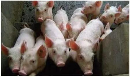 猪只饲养过程中强弱分群如何操作执行?