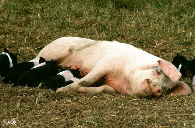 母猪护理做不好,怪不得不赚钱!