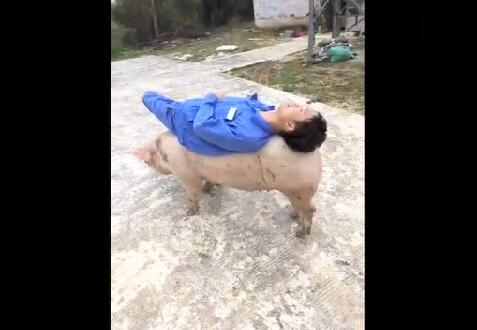猪场的员工无聊时都是这样遛猪的,真会享受啊!