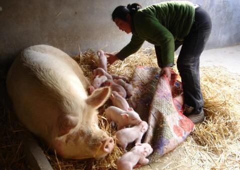 母猪分娩时遇到的这些问题,这里都可以解决!