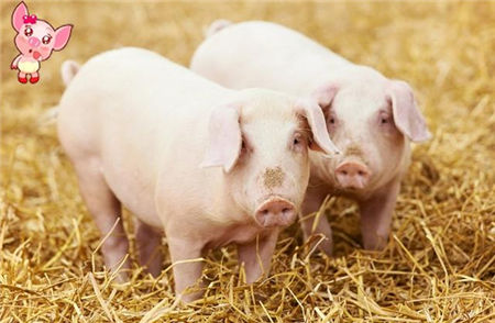 养猪经常用的六个妙招,用好了养猪肯定不会赔钱