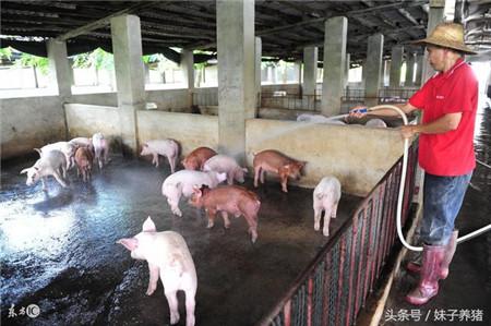 猪场温度高湿度大,养猪人怎么办?