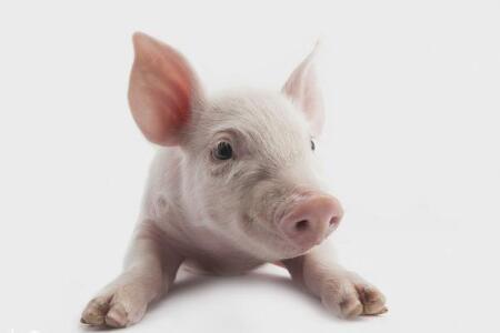 发现上半年猪价最简单规律没 上半月形势总好于下半月