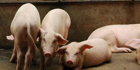 夏季的喜雨:国外猪价下滑,国内猪价上涨