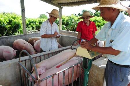 喂猪=喂饲料+喂点药?要想养好猪别只关注这两件事!