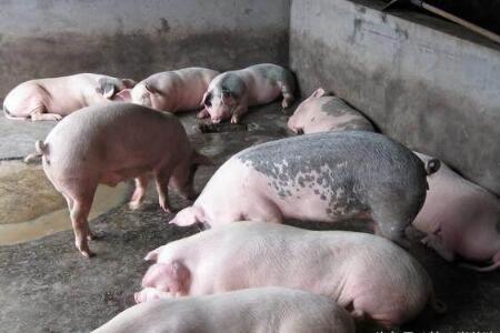 上市肥猪数量减少促使猪价小涨,8月猪价会如何?