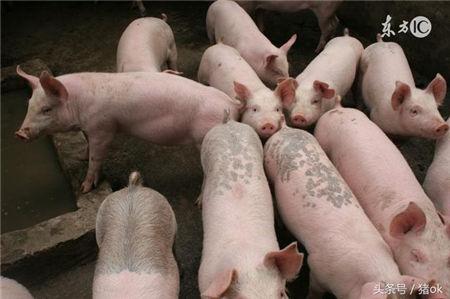猪消瘦不增重的背后黑手 给猪驱蛔虫该用什么药