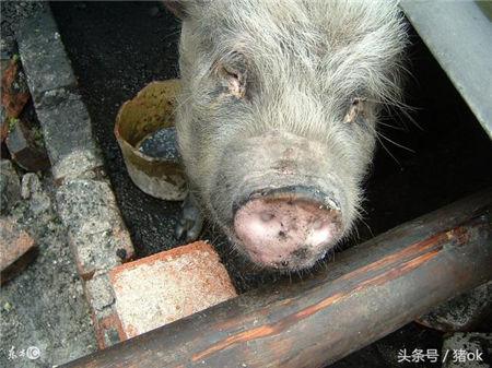 猪身上发红发紫原来是因为猪患附红细胞体病