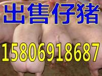 山东三元仔猪批发价格15806918687