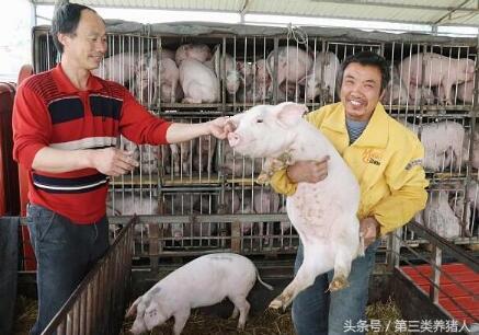 买猪苗育肥,老师傅这样挑小猪