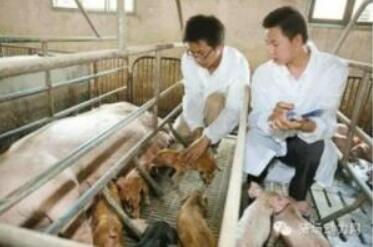 夏季母猪产后采食量低,经常便秘怎么办?