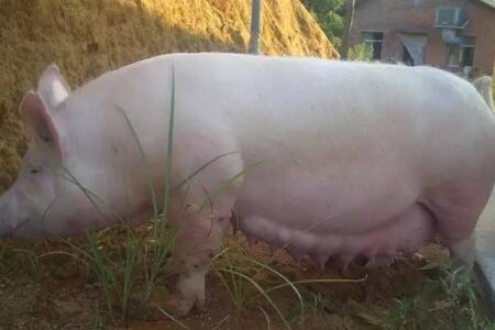 如何避免怀孕母猪出现不吃食现象?母猪饲养管理你做对了吗