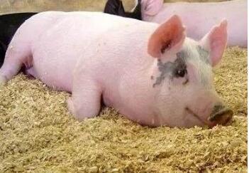 如何判定猪的驱虫效果?