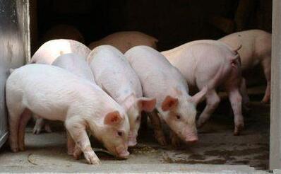断档期还会有吗?下半年猪价上涨在几月?答案就在这里!