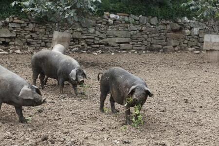 小散养猪新理念!最好的药物是营养,最好的治疗方法是及