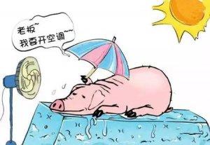 猪中暑(易发生且致命)如何避免?不可忽视!