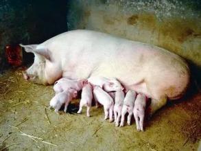 预防母猪难产的神奇方法,真是绝了!