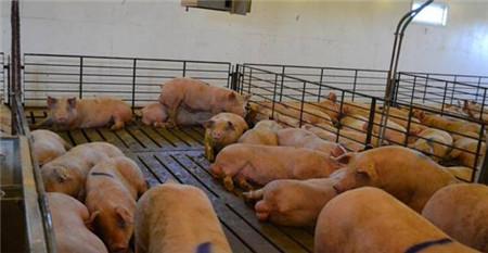 公猪应激源细节管理,保证公猪精液质量