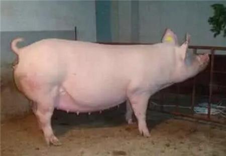 头胎母猪发情难、淘汰率高,怎么破?