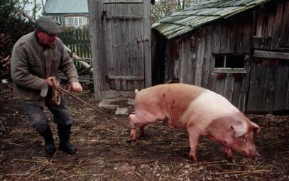 2017上半年中国猪业疫病流行趋势面面观
