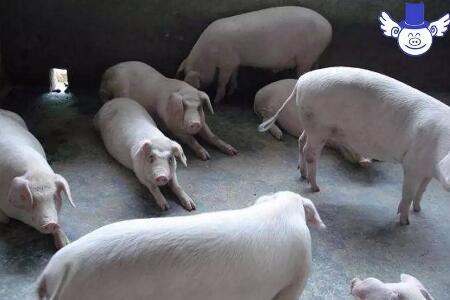 夏季降低猪死亡率的四大措施,少死一头多赚两千块钱!